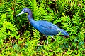 Shark Valley..bird Paradise W of Miami...Little Blue Heron (Egretta caerulea)... (26872135482).jpg