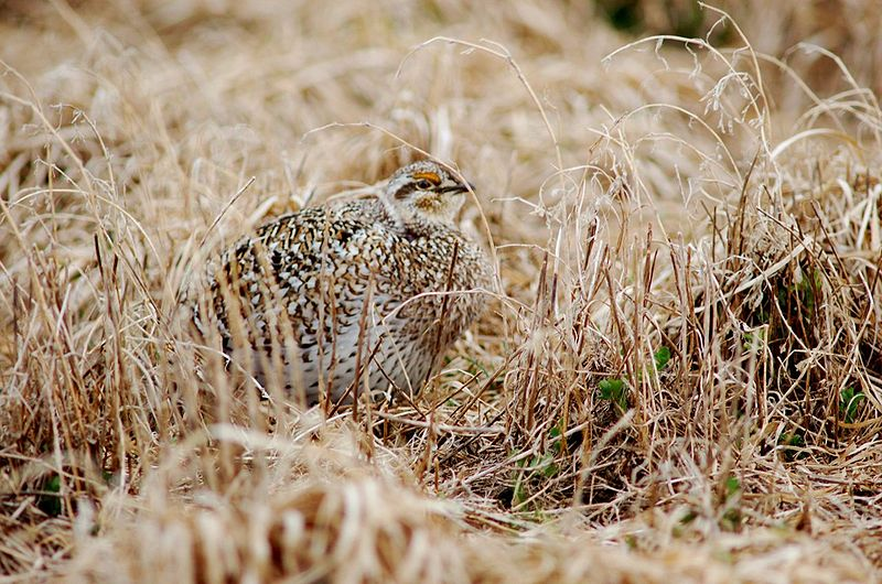 Plik:Sharp-Tailed Grouse.jpg