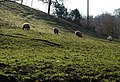 Sheep near the Batt's Brook - geograph.org.uk - 689972.jpg