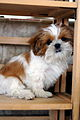 Shih Tzu puppy Now how do i get down?.jpg