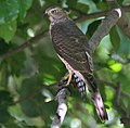 Shikra (Accipiter badius) W IMG 0139.jpg