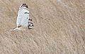 Short-eared Owl (8751345574).jpg