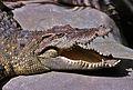 Siamese Crocodile (Crocodylus siamensis) (7781302098).jpg