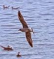 Siberian Bird Flying.jpg