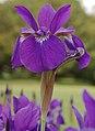 Siberian Iris Iris sibirica Tall Flower 2000px.jpg