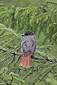 Siberian Jay (Perisoreus infaustus).jpg