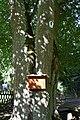 Siebengemeindewald (03) Hoffmanns-Linde.jpg