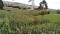 Siembra de Maíz -Caserío vallicopampa.jpg