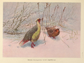 Sikhim Himalayan Blood Partridge by George Edward Lodge.png