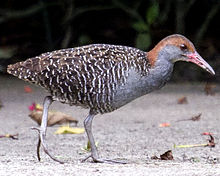 Slaty-breasted Rail Gallirallus striatus photographed in Malaysia in 2013 by Devon Pike.jpg