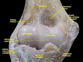 Radial collateral ligament of elbow joint - Image: Slide 2xzxzxz