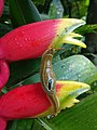 Snail on Heliconia flower.jpg