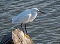 Snowy egret (51144).jpg