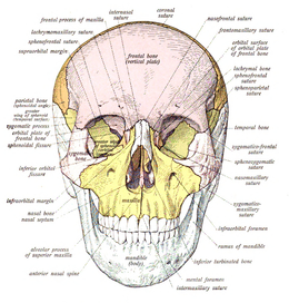 skull - wikipedia, Skeleton