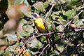 Social Flycatcher (Myiozetetes similis) (8079389597).jpg