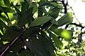 Socratea exorrhiza 11zz.jpg