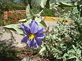 Solanum-elaeagnifolium-20080330.JPG