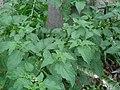 Solanum americanum-1.jpg