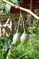 Solanum betaceum à São Tomé (5).jpg
