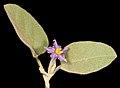 Solanum terraneum - Flickr - Kevin Thiele (2).jpg