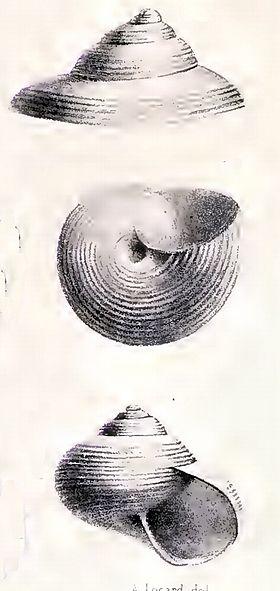 Solariella cingulima 001.jpg