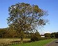 Solitary Roadside Tree - geograph.org.uk - 269963.jpg