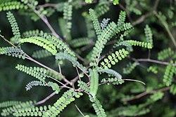 Sophora microphylla 20234378.jpg