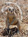South African Ground Squirrel (Xerus inauris) female (32469759661).jpg