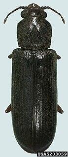 <i>Lyctus carbonarius</i>