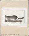 Spermophilus franklini - 1700-1880 - Print - Iconographia Zoologica - Special Collections University of Amsterdam - UBA01 IZ20400123.tif