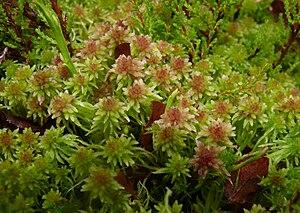 Sphagnopsida - a clump of Sphagnum, peat moss
