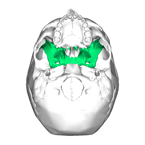 file:sphenoid bone - inferior view2 - wikimedia commons, Human Body