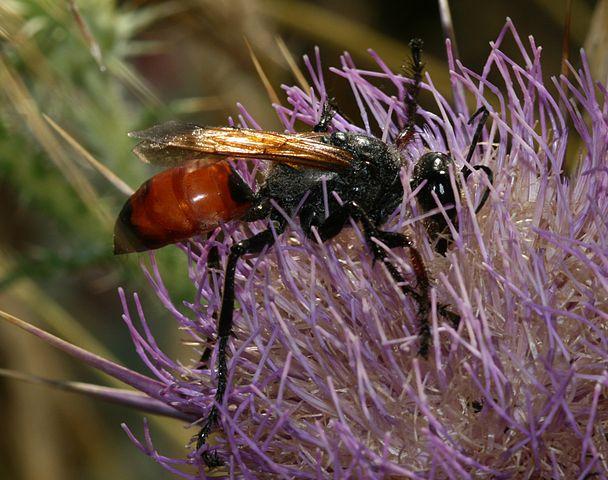 Bộ sưu tập côn trùng 2 - Page 6 608px-Sphex_flavipennis_2