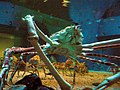 Spider crabs at the Kaiyukan Aquarium in Osaka close below.jpg