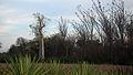 Spiny forest, Berenty (4352900447).jpg