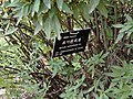 Spiraea cantoniensis - Kunming Botanical Garden - DSC03202.JPG