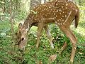 Spot Deer 3.JPG