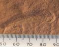 Spriggina Floundensi 4.png