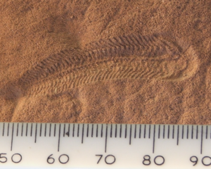 Spriggina - Fossil of S. floundersi. Scale in millimetres.