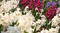 Spring in botanic garden - Cluj-Napoca (3438788847).jpg