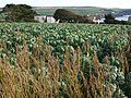 Sprouts at Thurlestone - geograph.org.uk - 1514540.jpg