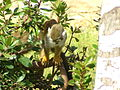 Squirrel Monkey 02.jpg