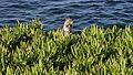 Squirrel in La Jolla (70347).jpg