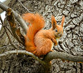 Squirrel on a branch (17212656985).jpg
