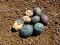 Starr-010330-0585-Livistona chinensis-fruits-Makawao-Maui (24532093815).jpg