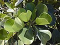Starr-010424-0008-Clusia rosea-leaves-Kihei-Maui (24450115681).jpg