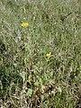 Starr-010520-0104-Sonchus oleraceus-habit-Inland-Kure Atoll (24532796525).jpg