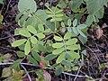 Starr-030202-0057-Senna gaudichaudii-leaves-Wailea 670-Maui (24619853185).jpg
