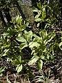 Starr-031013-0016-Acacia mangium-leaves-Hamakuapoko-Maui (24555821272).jpg