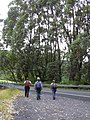 Starr-040713-0102-Eucalyptus sp-habit with Jon Kim and Tracy-Kopiliula-Maui (24688278436).jpg
